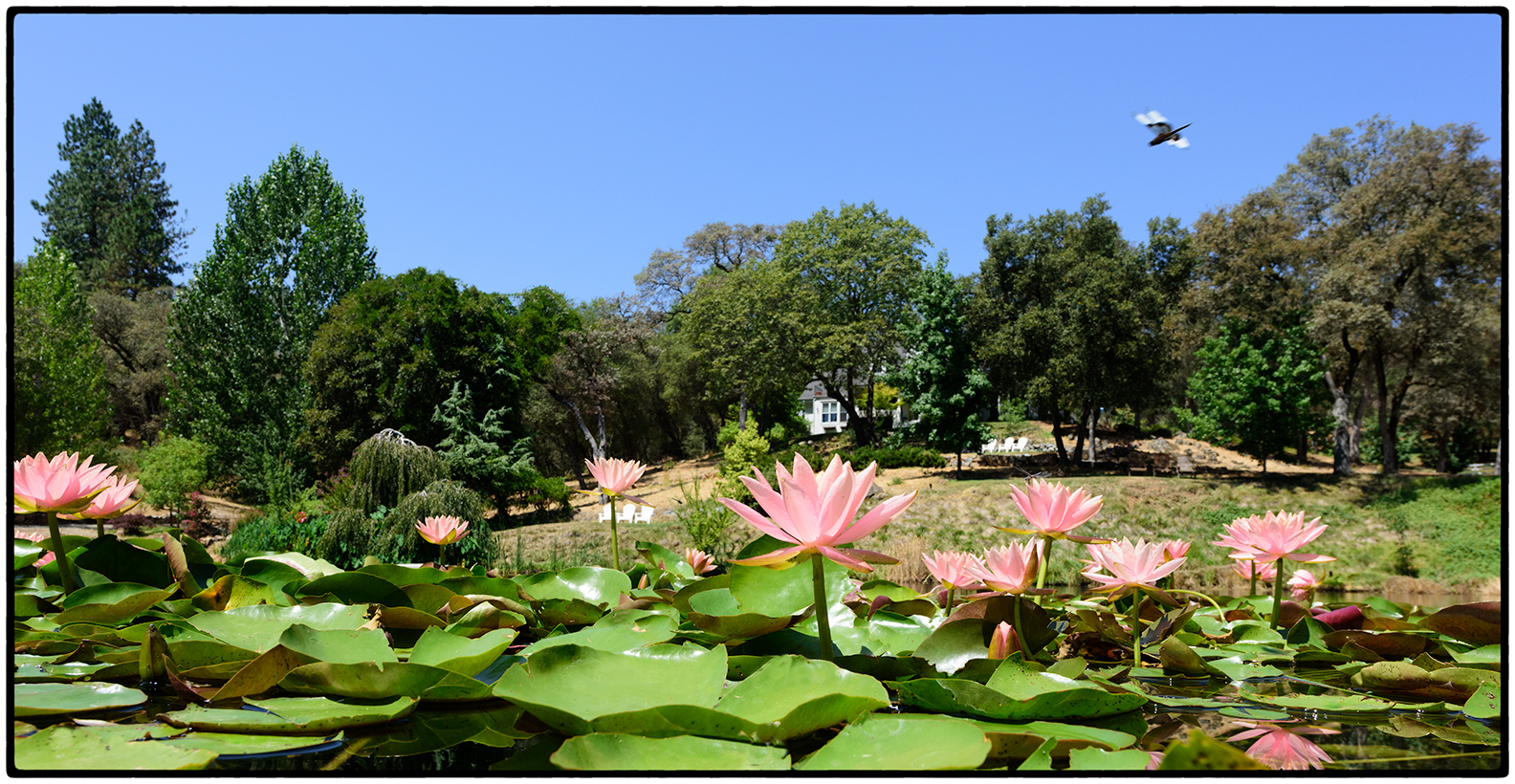 The lily pad, dragonfly, pond, and Auburn Ranch House