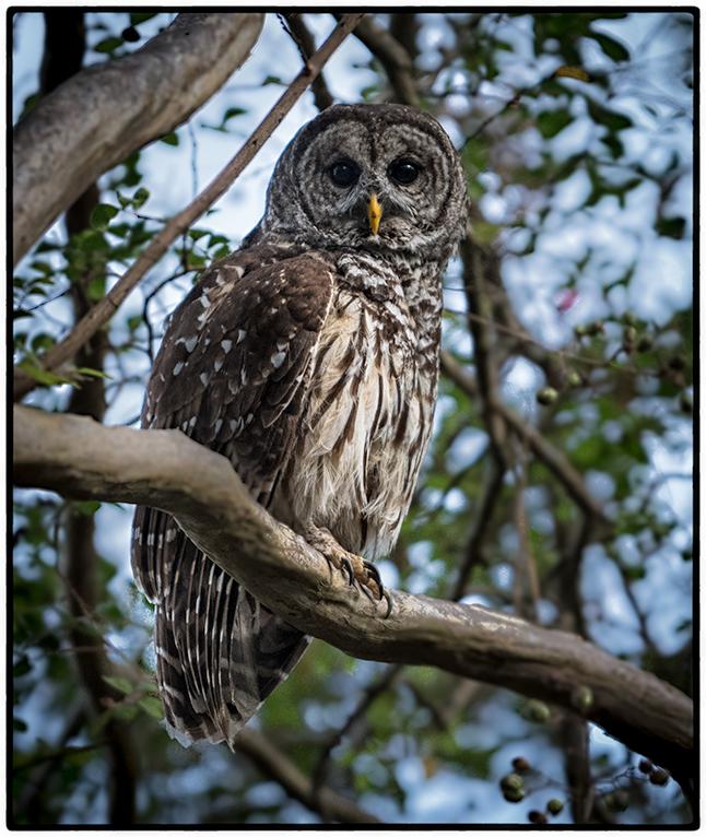 Owl, Vicksburg
