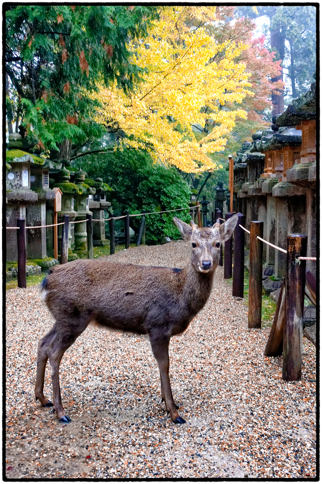 Sika Deer Near Kasuga-Taisha, an 8th Century Shinto Shrine