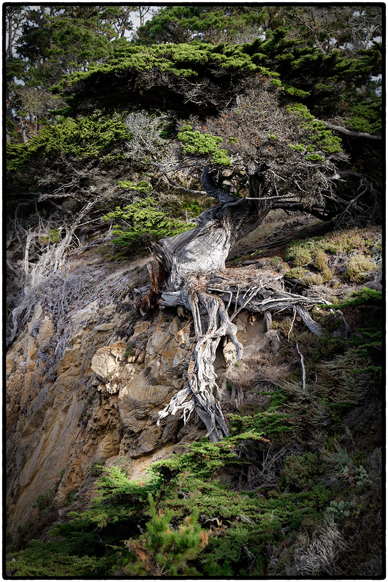 Tree, Point Lobos