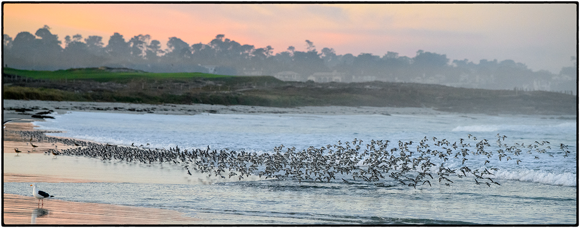 Sanderlings at Sunrise 5