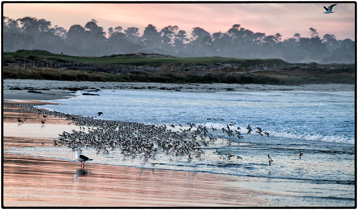Sanderlings at Sunrise 6