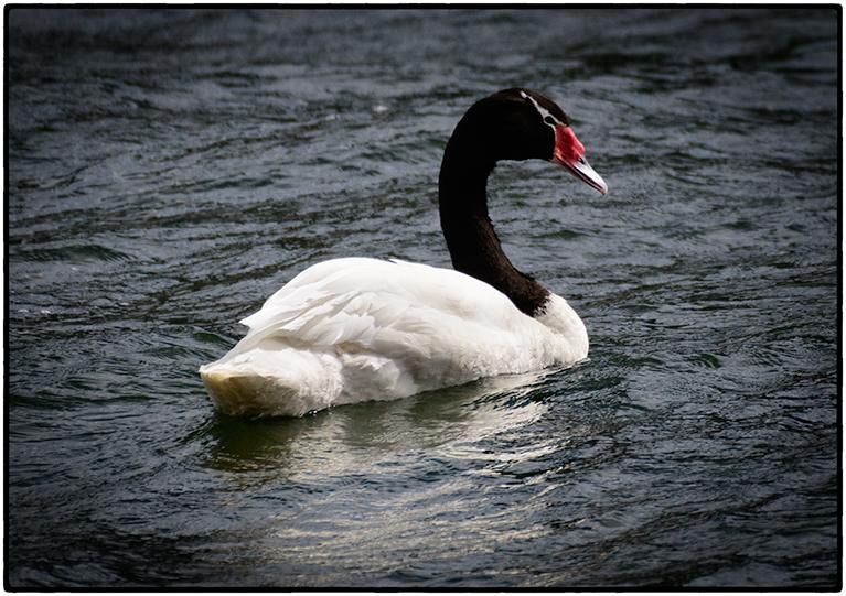Black Necked Swan, Puerto Natales, Chile