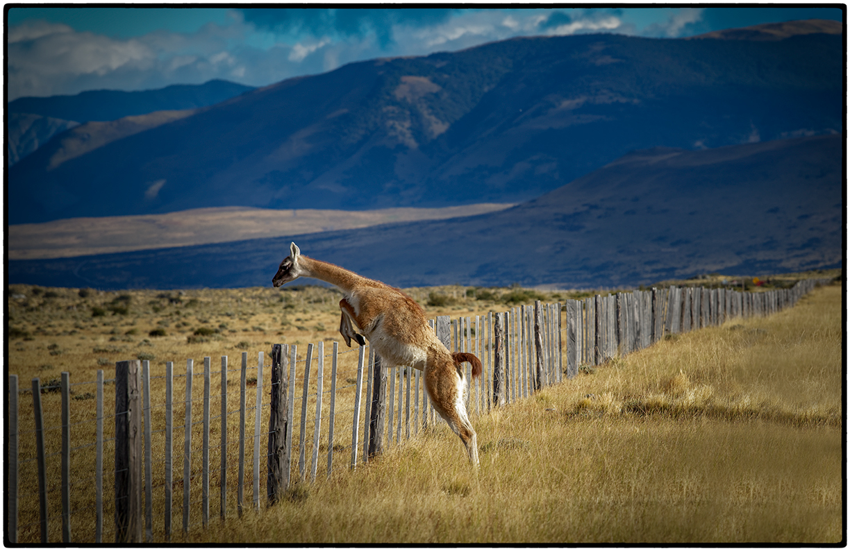 Guanaco Easily Leaping the Fence