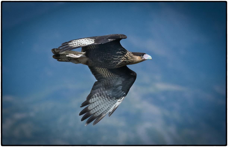 Caracara in Flight