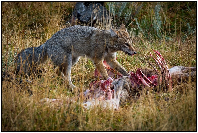 Chilean Fox with Kill