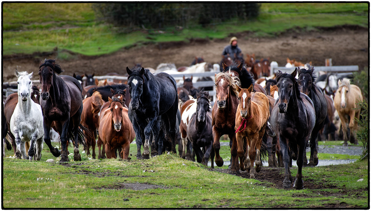 Chilean Gaucho Driving Horses to Pasture