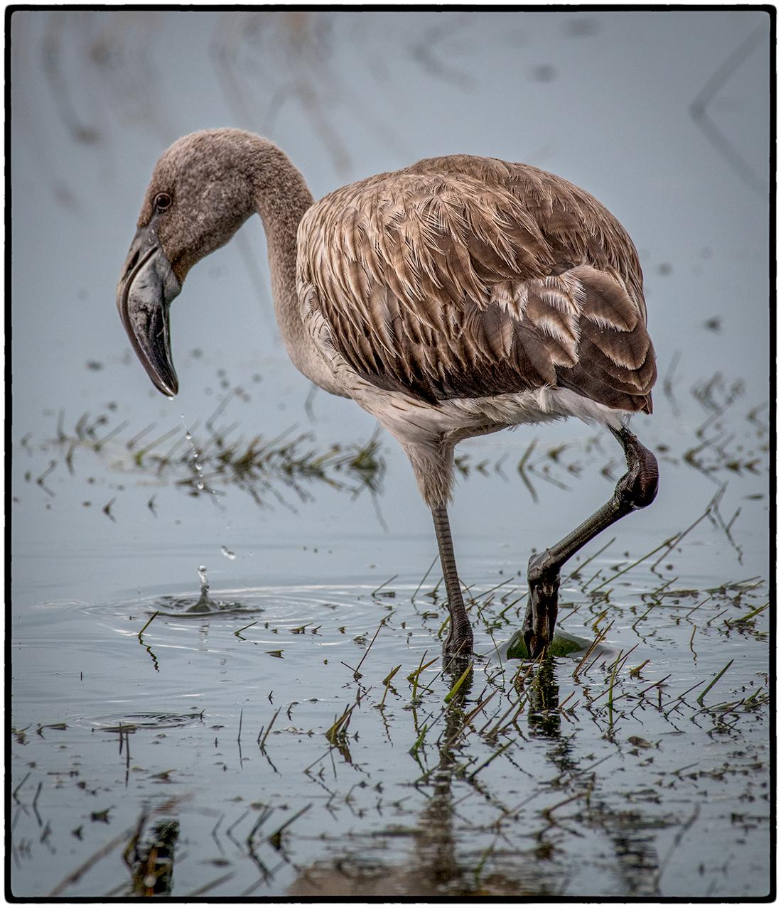 Juvenile Flamingo. Laguna Nimez