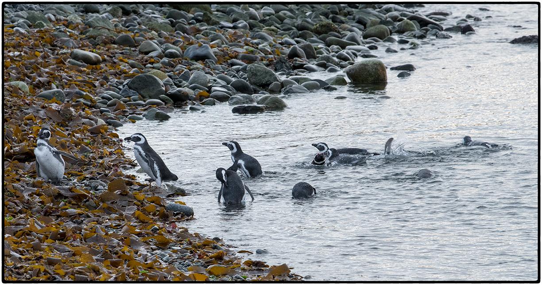 Magellanic Penguins, Magdalena Island