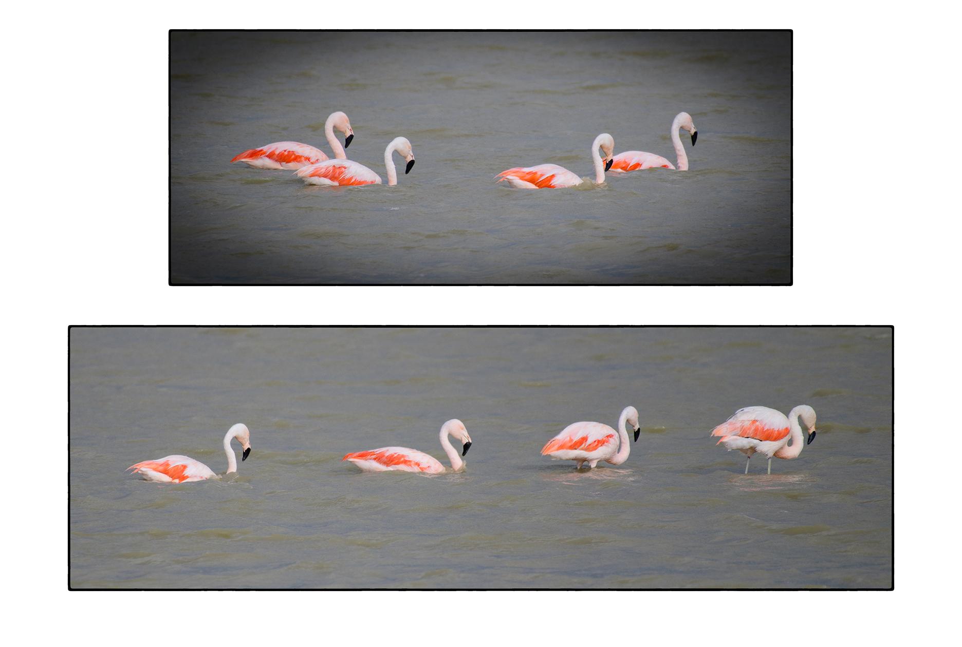 Chilean Flamingos, Punta Arenas, Chile