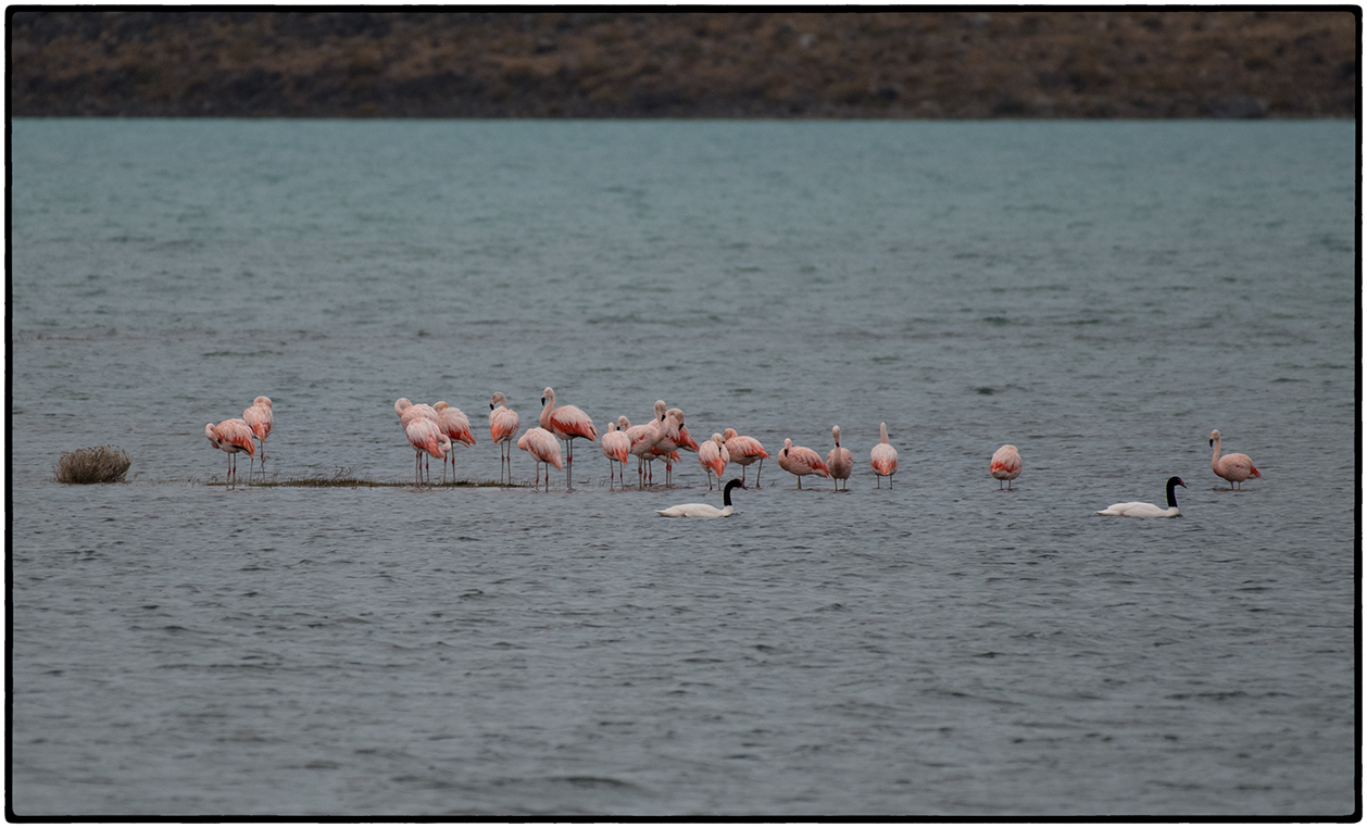 Flamingos, Black-Necked Swans