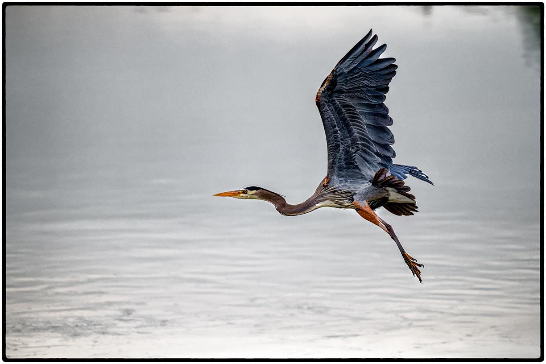 Blue Heron, Aquatic Park, Berkeley