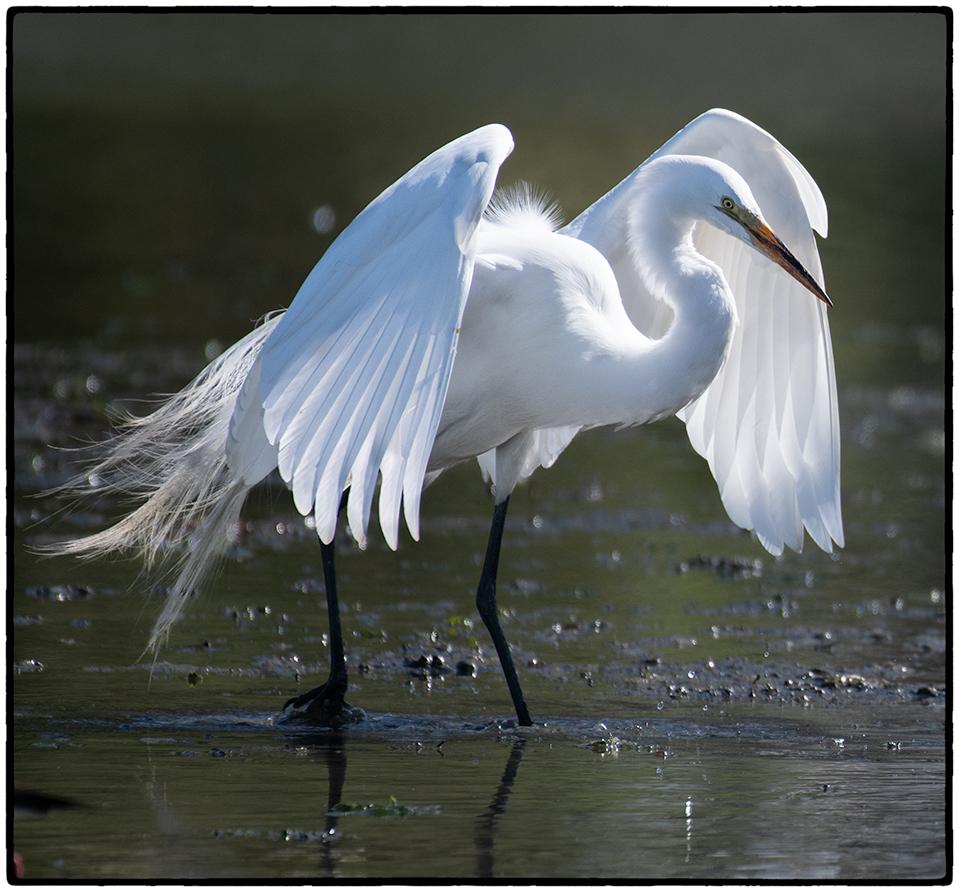 Snowy Egret, Berkeley, CA