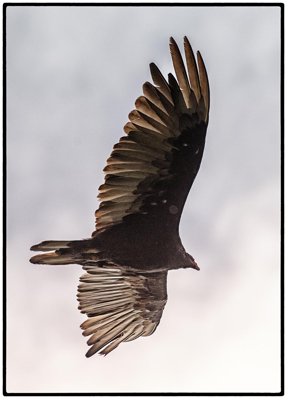 Vulture, Kensington, CA
