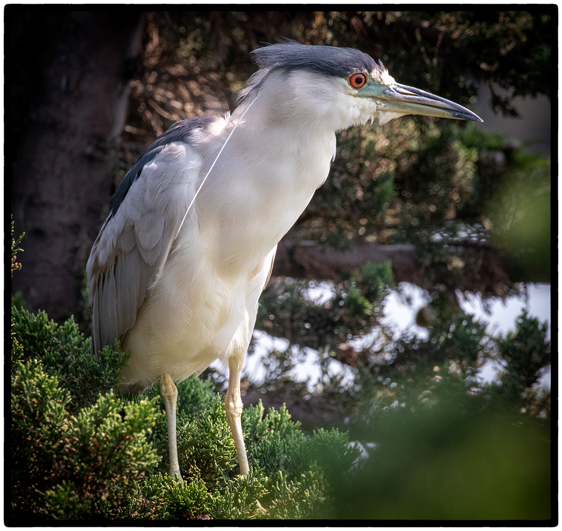 Black Crowned Night Heron (Adult)