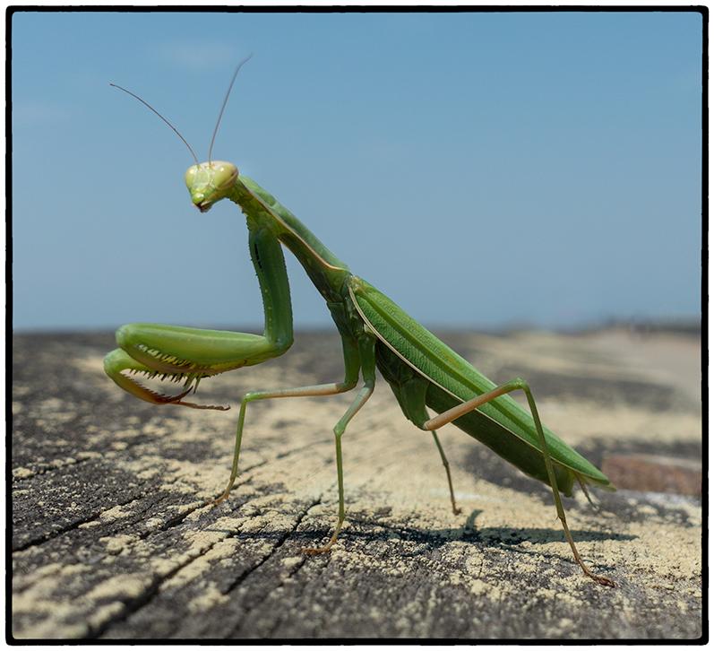 Praying Mantis, Point Pinole 2018