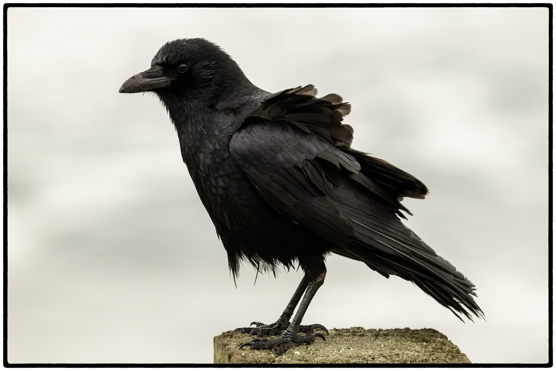 Raven. Monterey