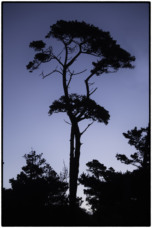 Cypress, Asilomar