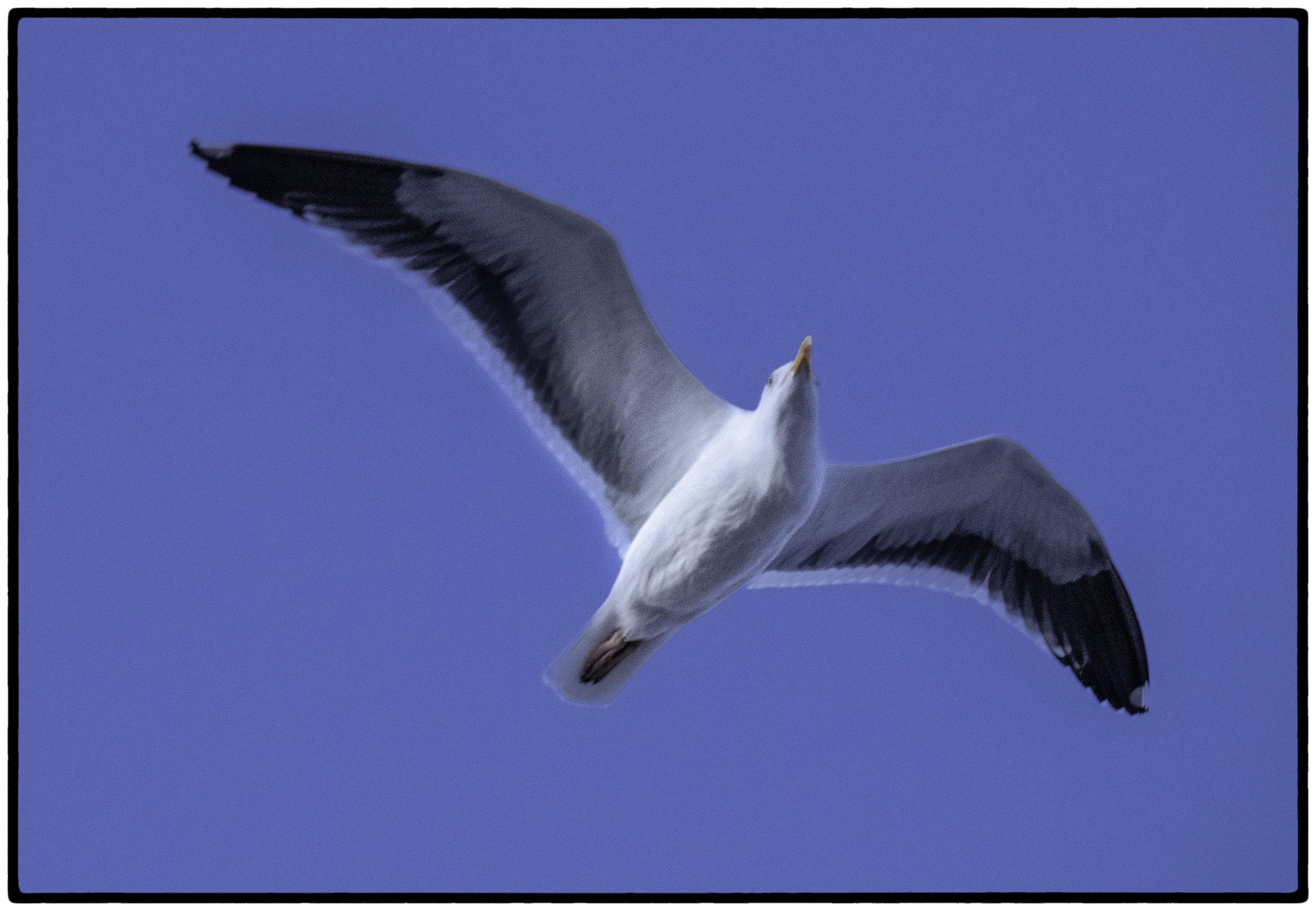 Gull, Asilomar Beach