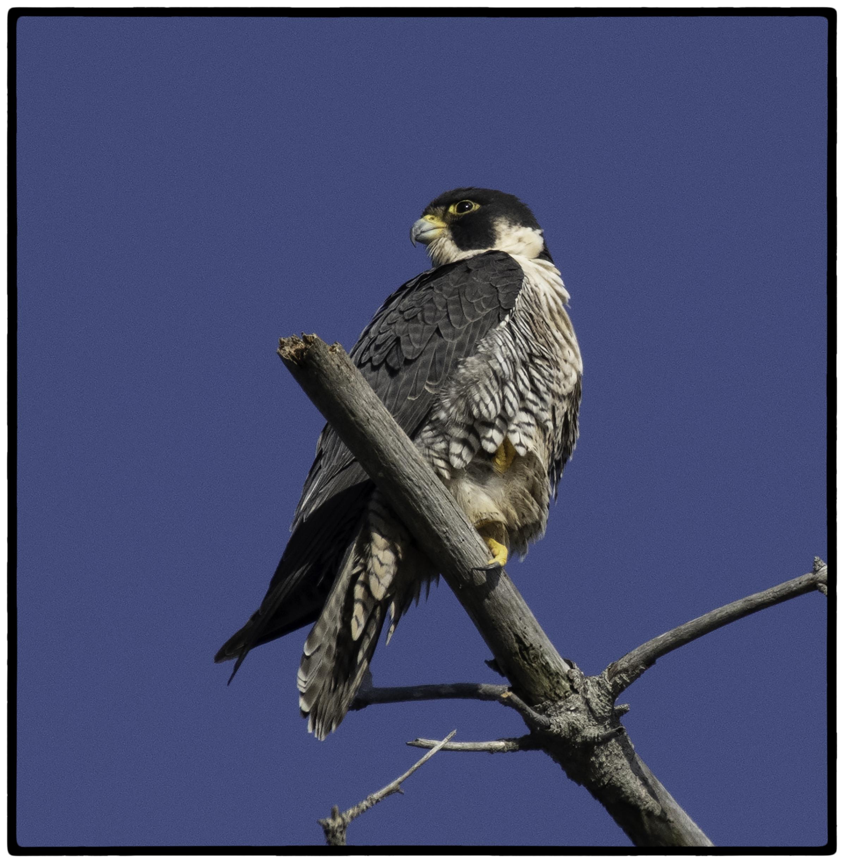 Hawk, Bird Island, Point Lobos