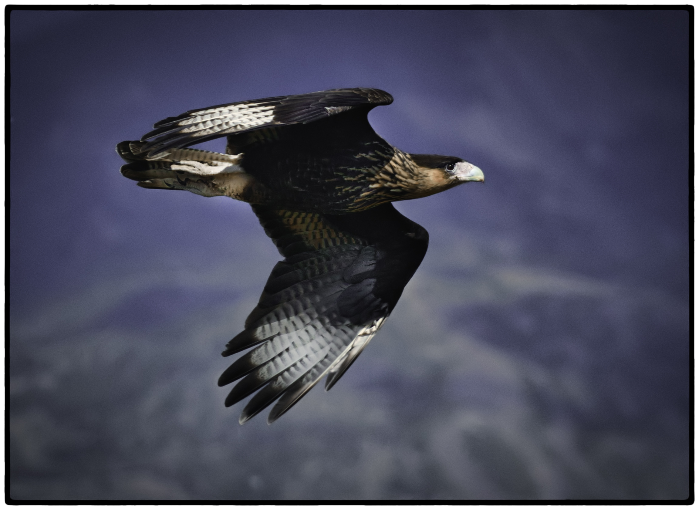 Southern Crested Caracara, Chile