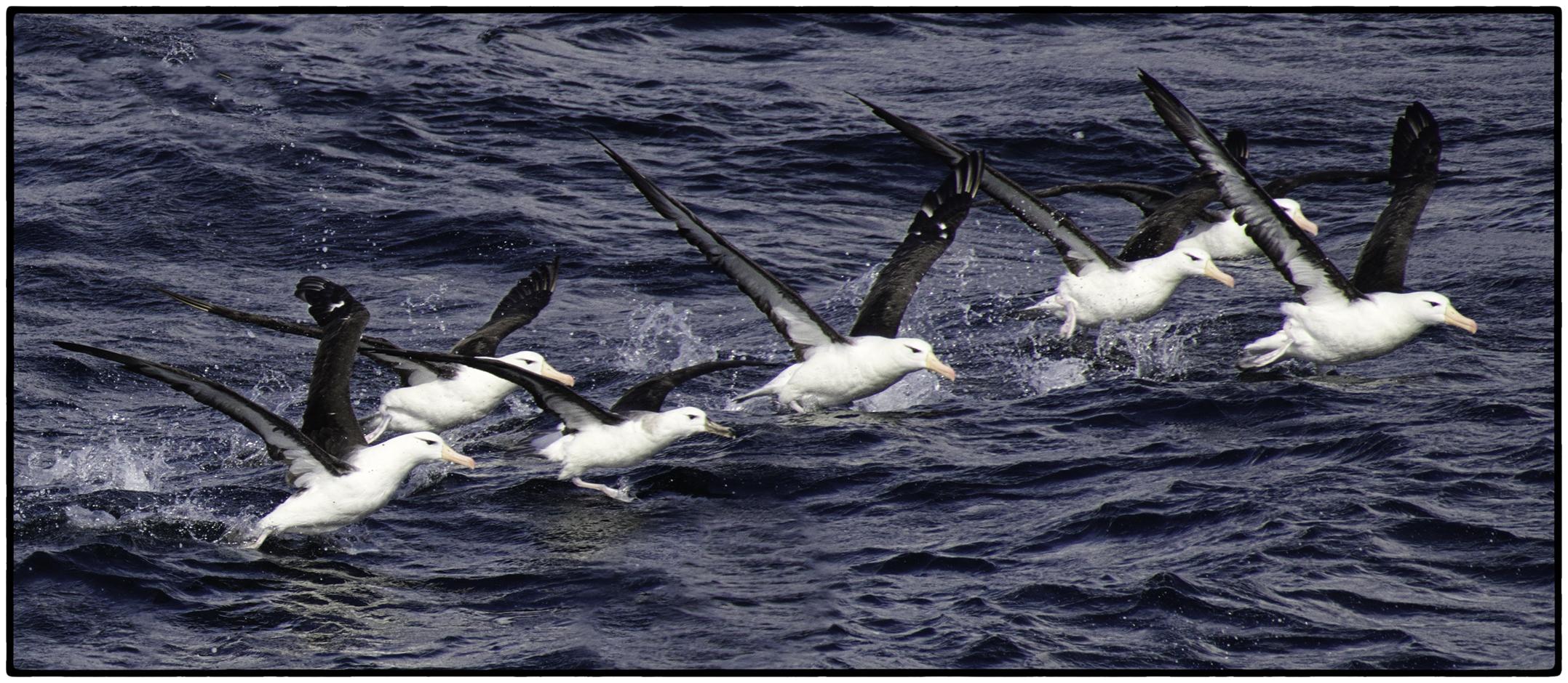 Albatrosses, Straits of Magellan, Argentina