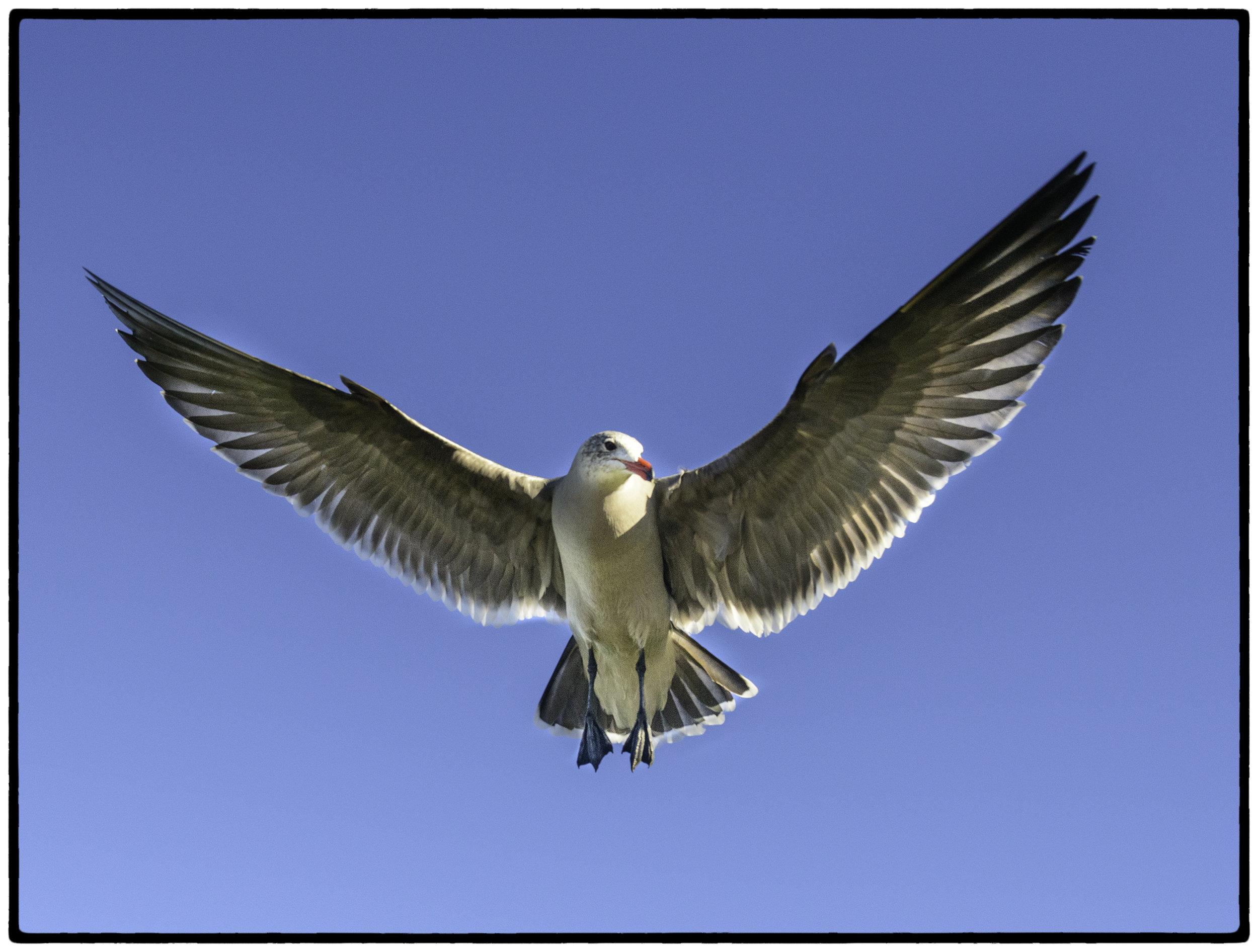 Gull, Monterey, CA