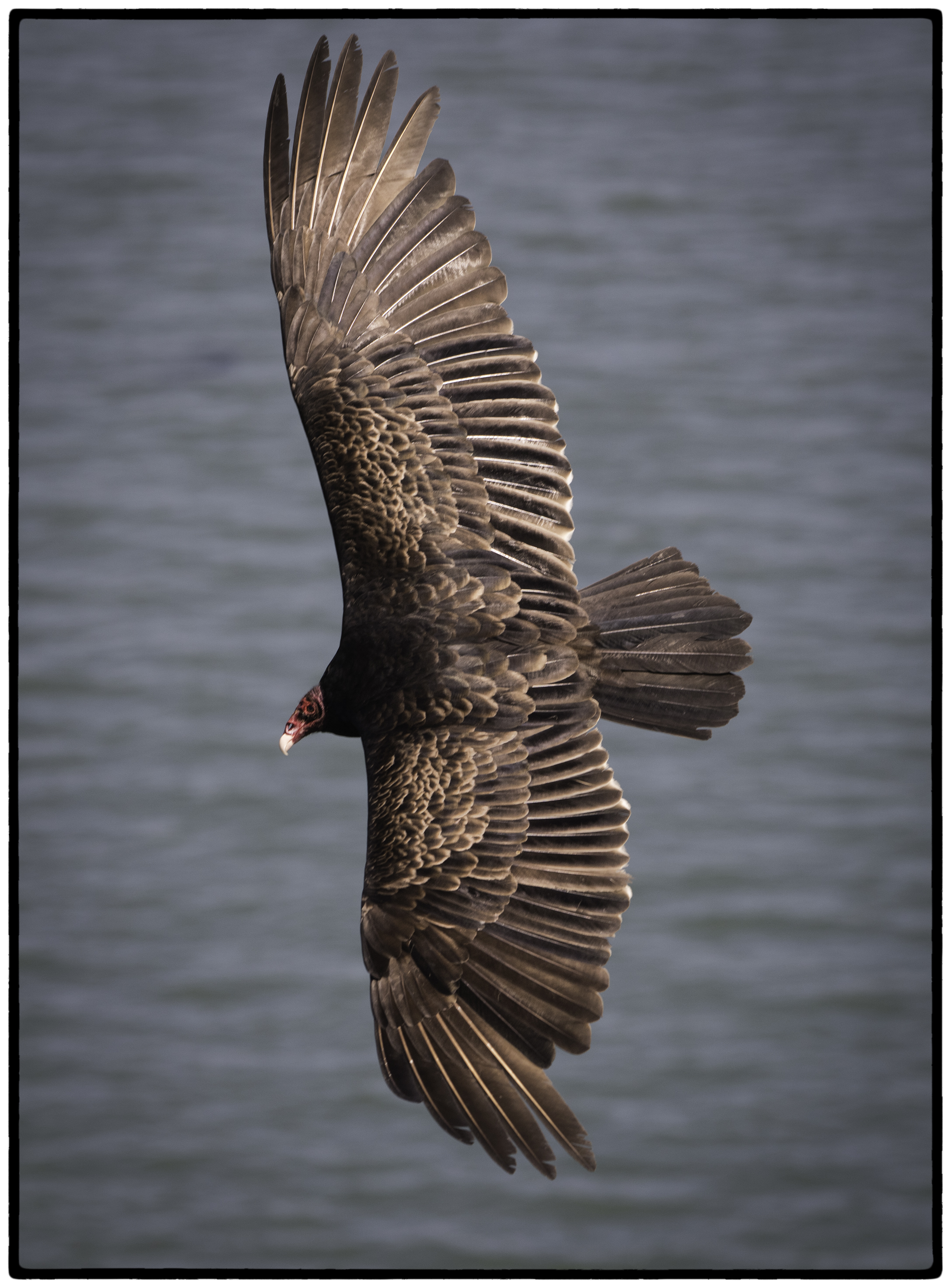 Vulture, Point Reyes, CA