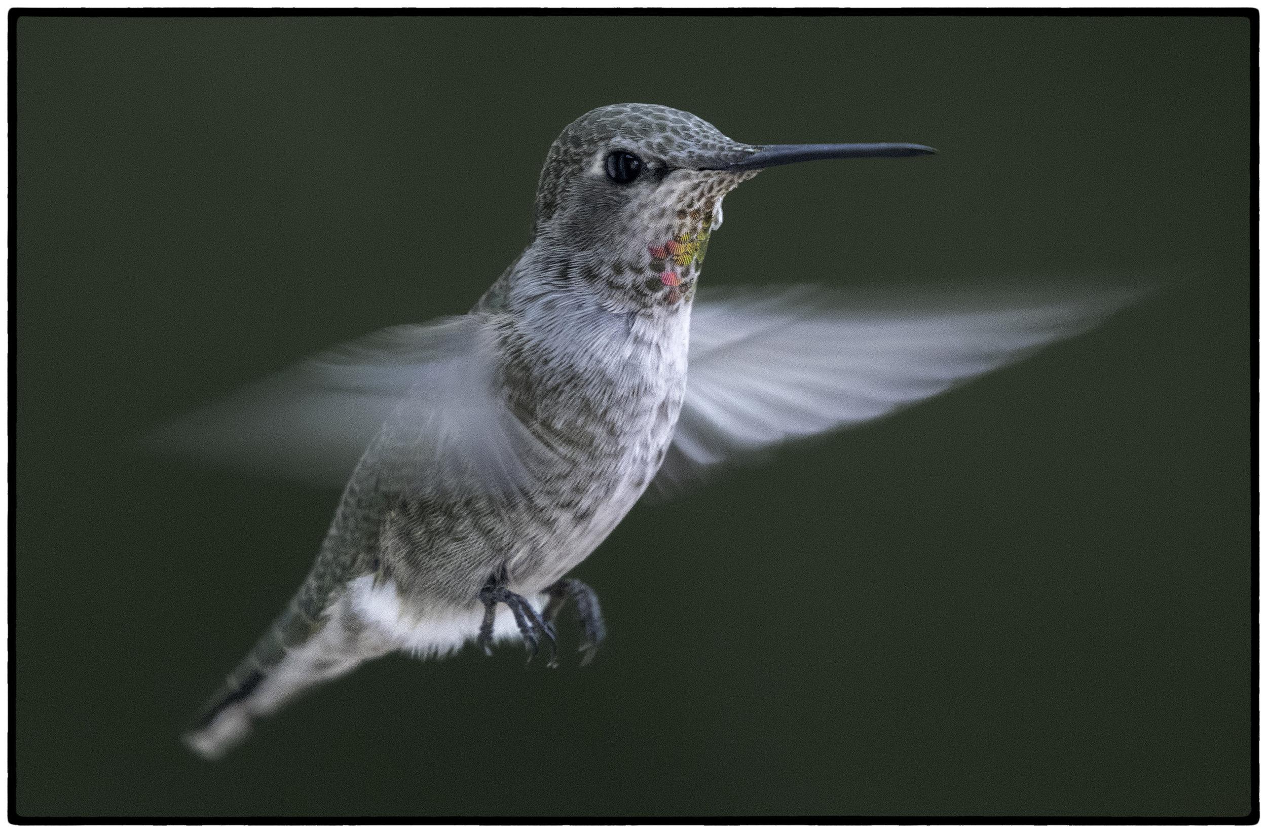 Hummingbird, Kensington, CA