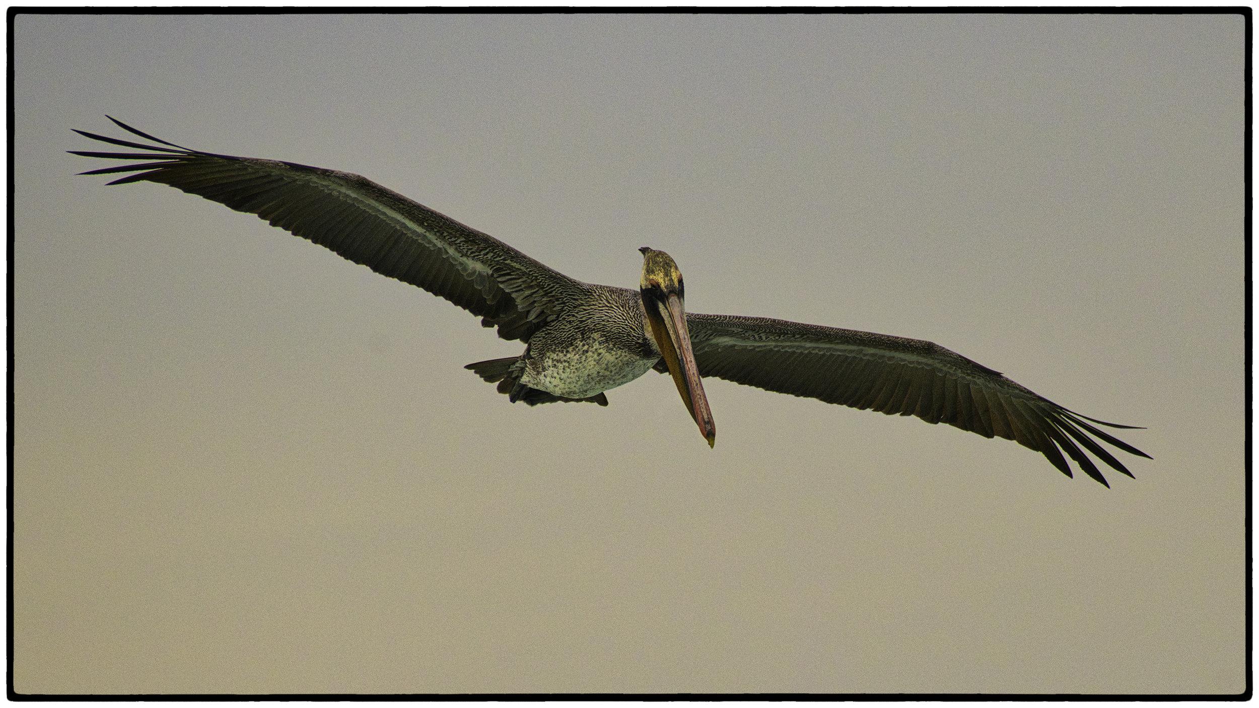 Pelican, Pacific Grove, CA