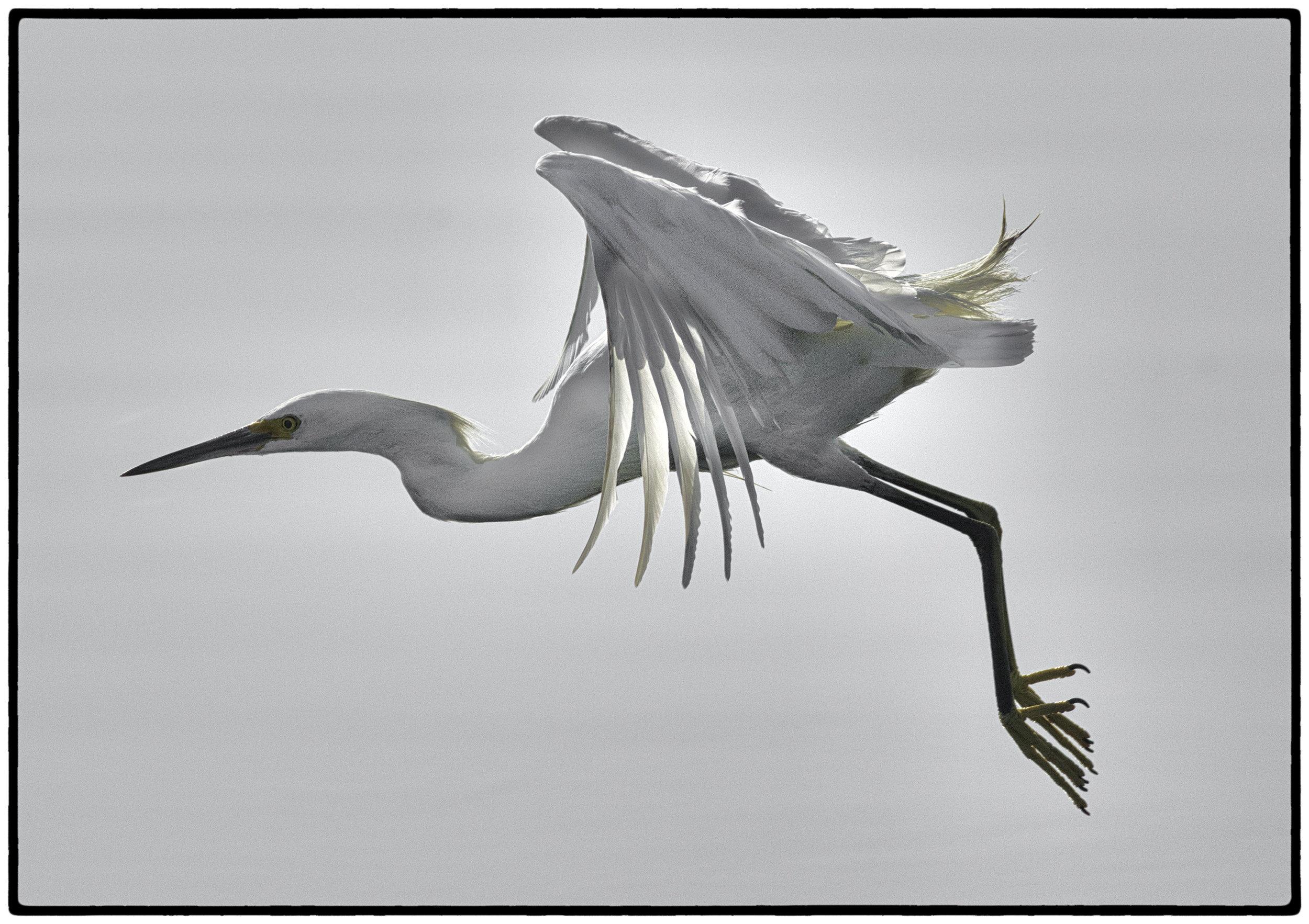 Great Egret, Berkeley, CA