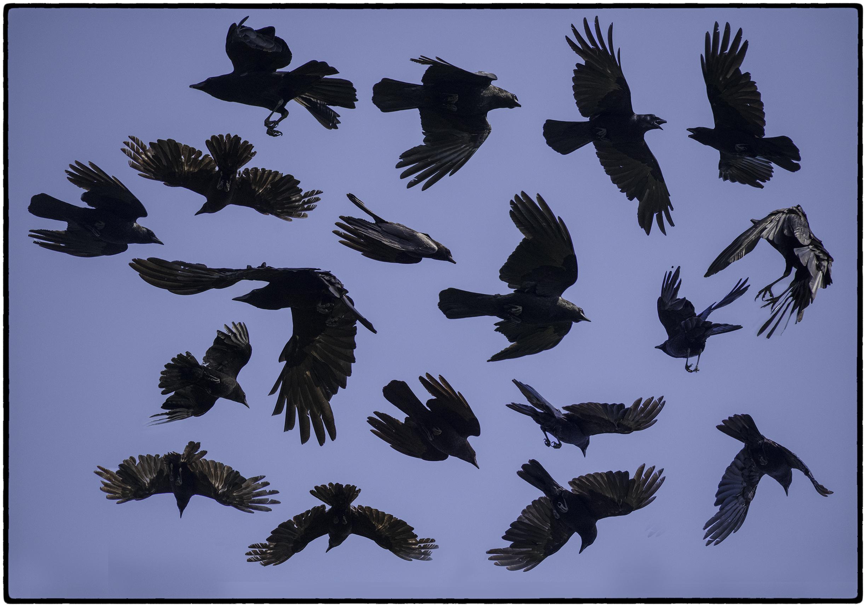 Crows, Kensington, CA