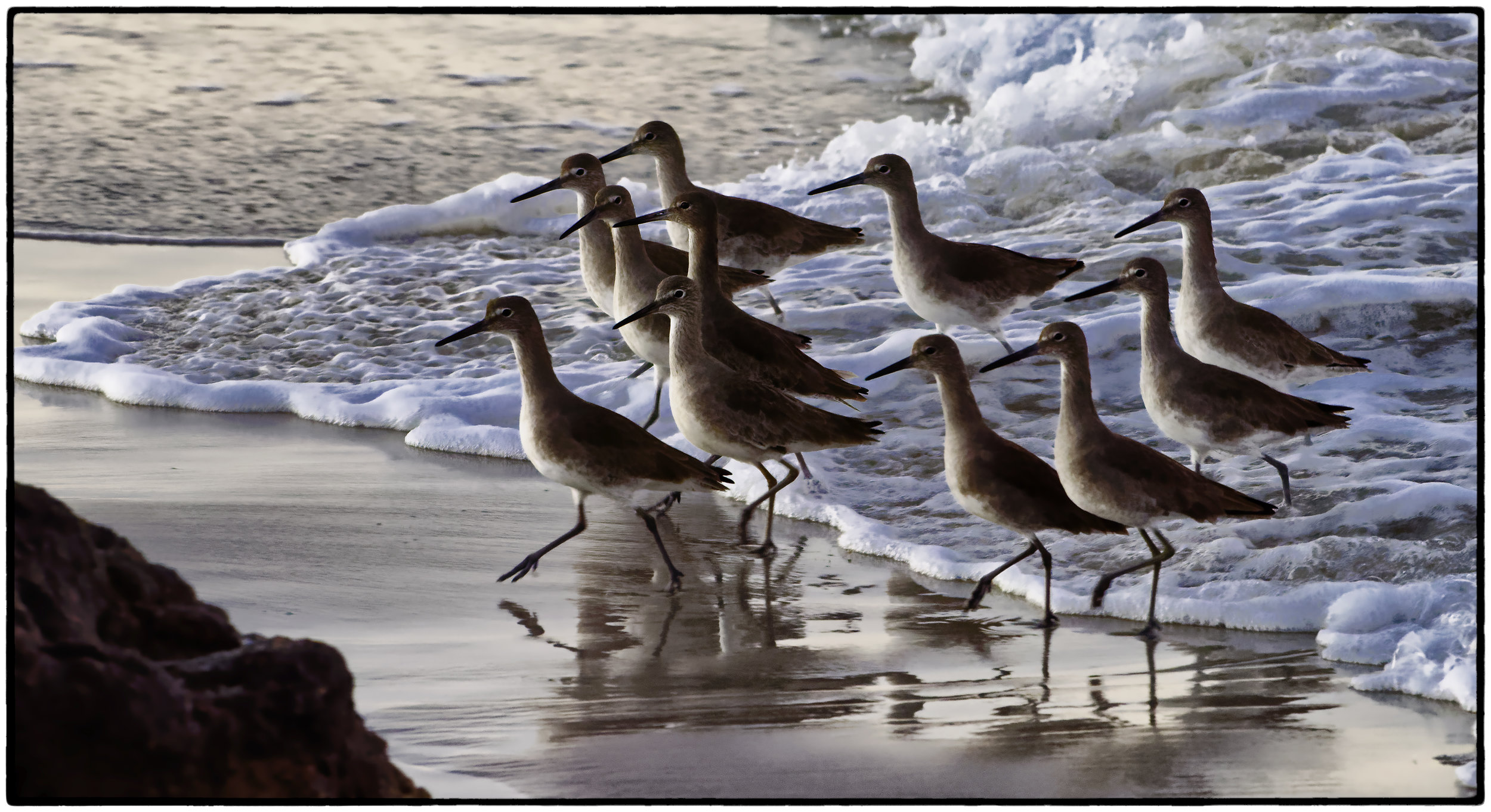 Sanderlings, Monterey, CA