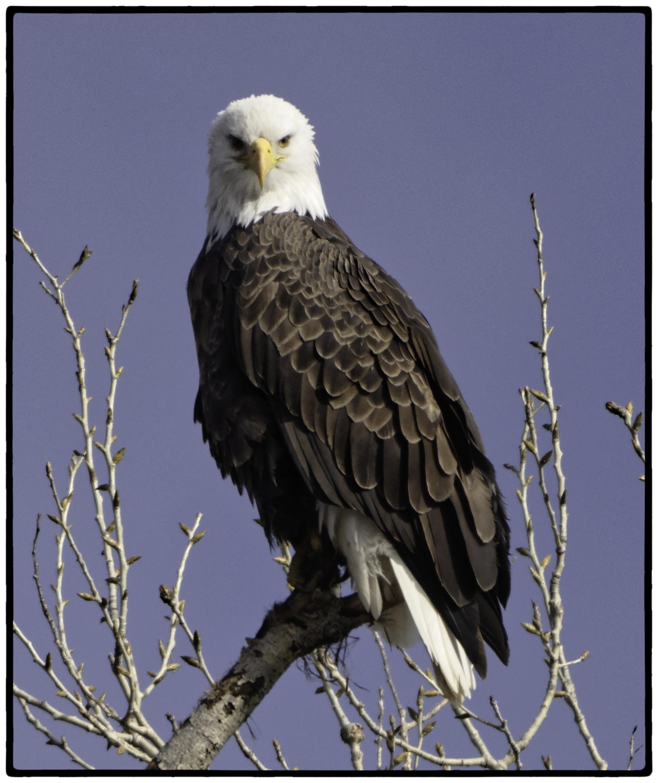 Eagle, Sacramento Wildlife Preserve, Ca