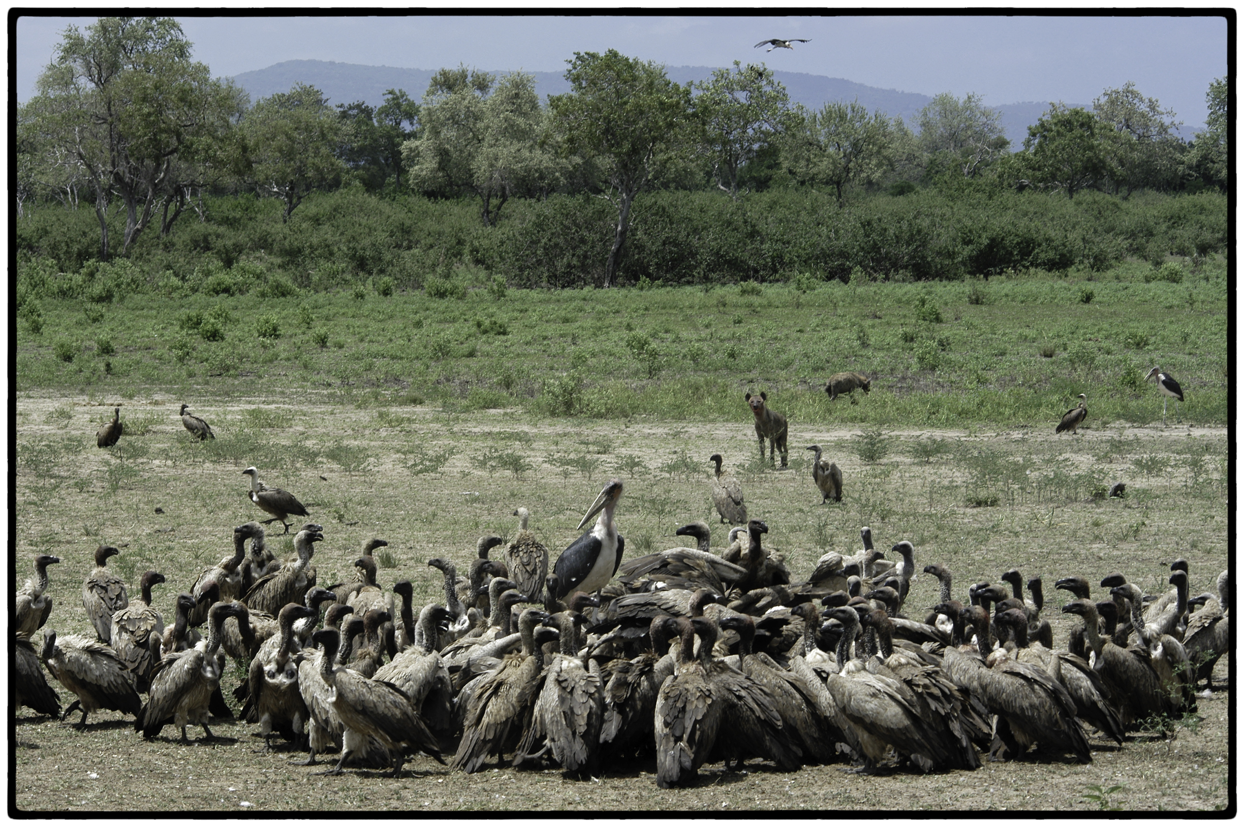 Vultures and hyenas, Tanzania, Africa