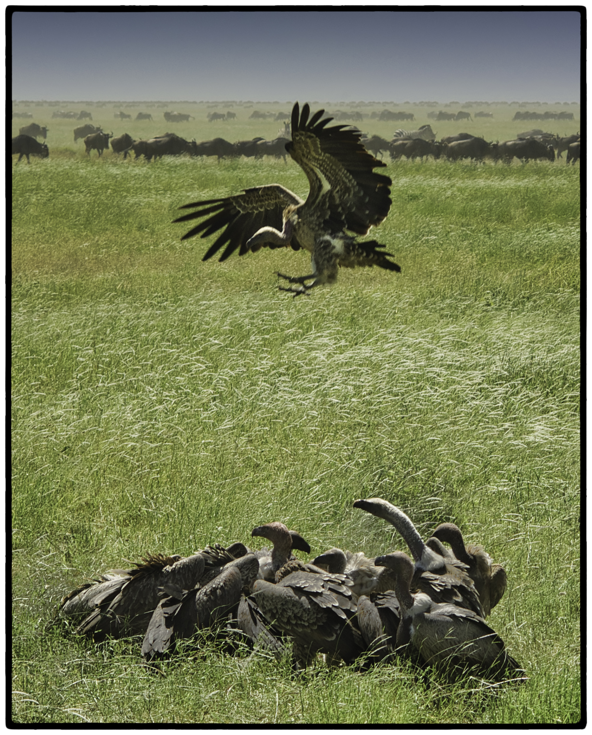 Vultures and Wildesbeests, Tanzania, Africa
