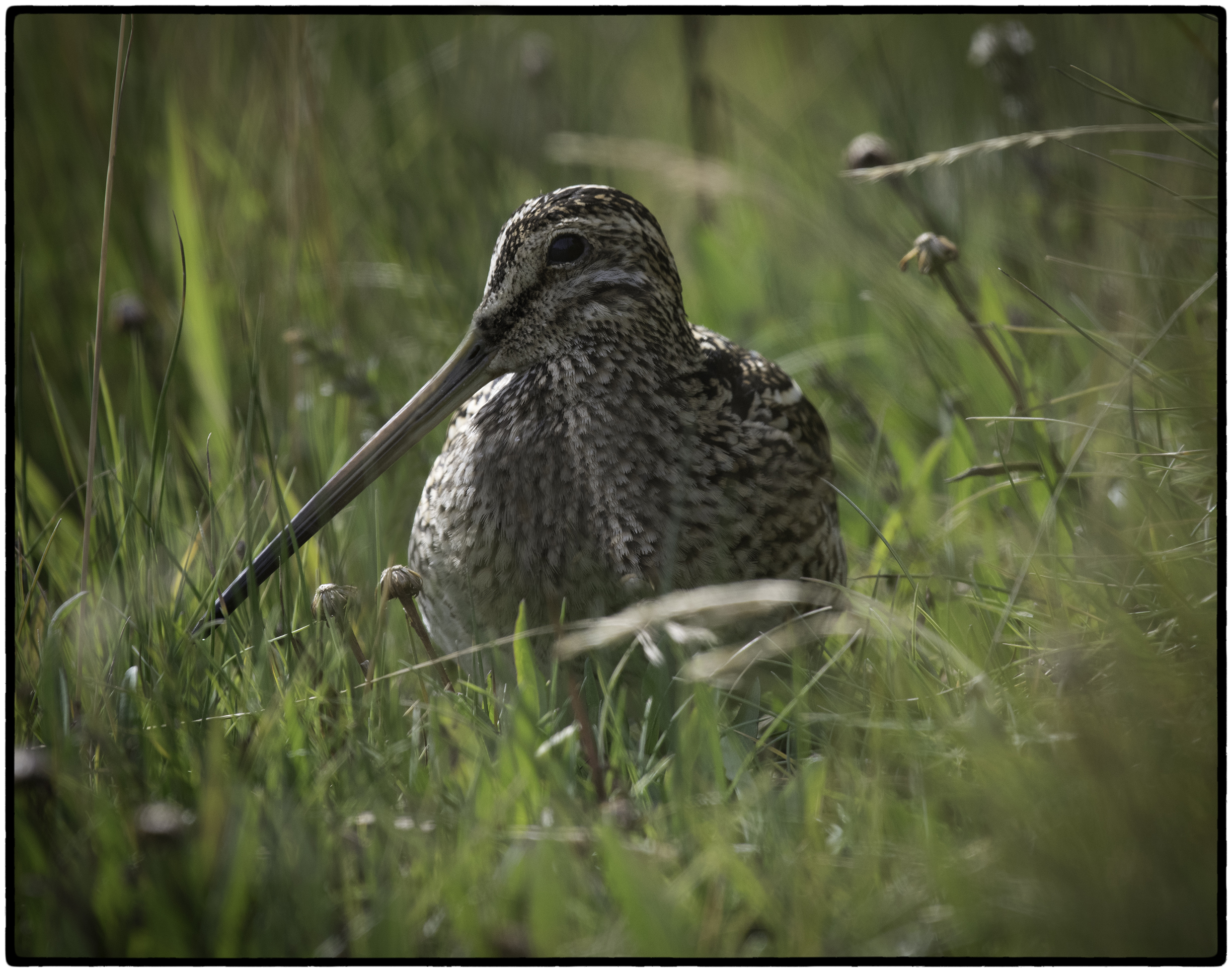 South American Snipe, Argentina