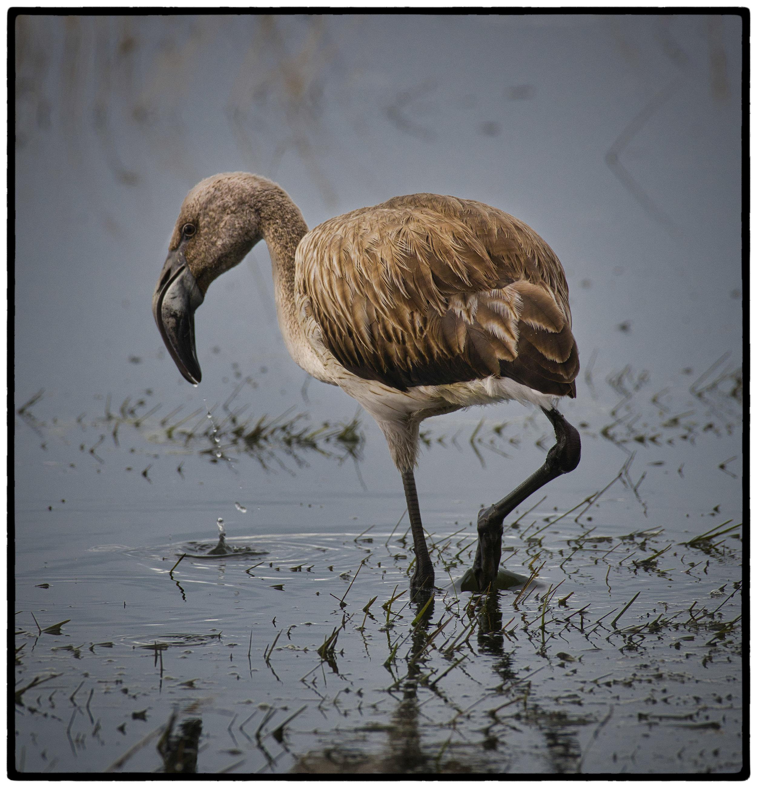 Juvenile Flamingo, Argentina