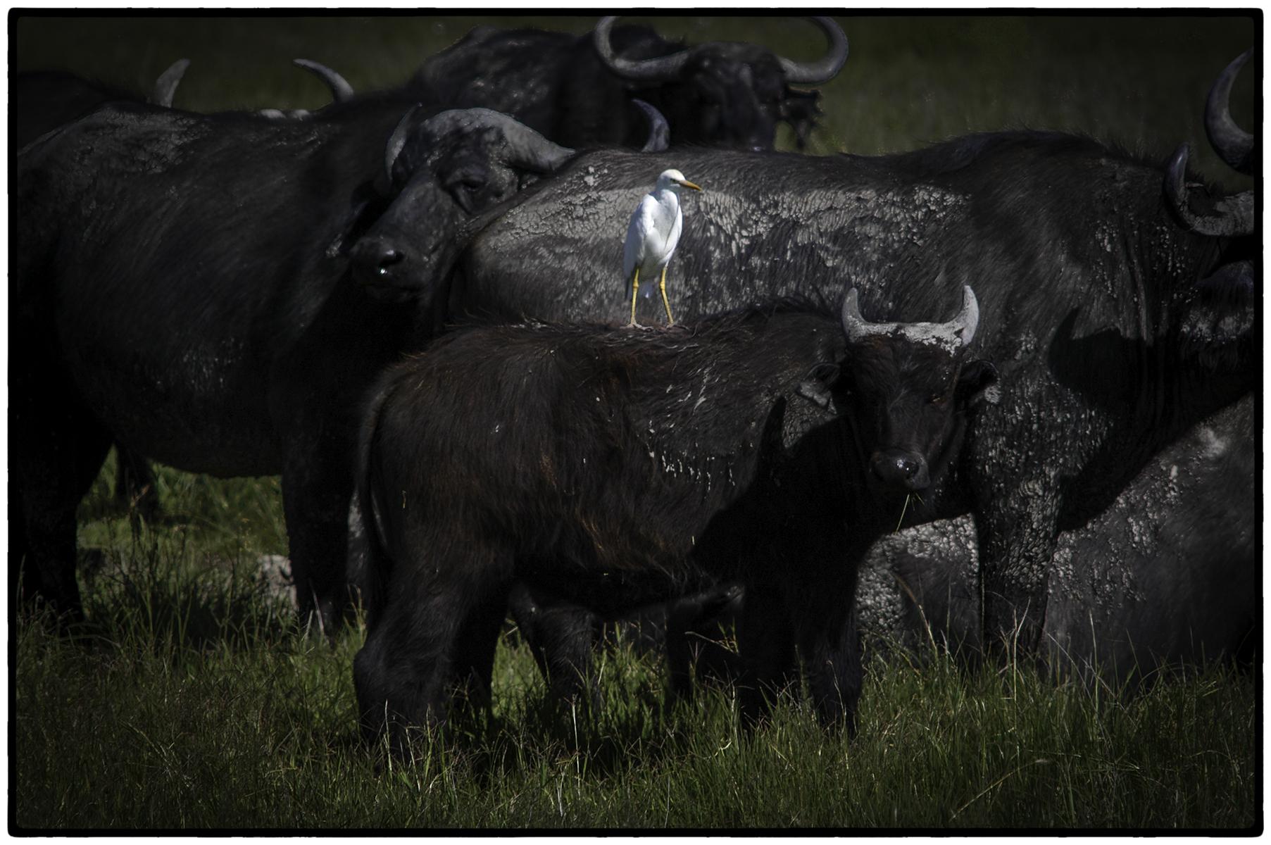 Water Buffalo and Friend, Tanzania