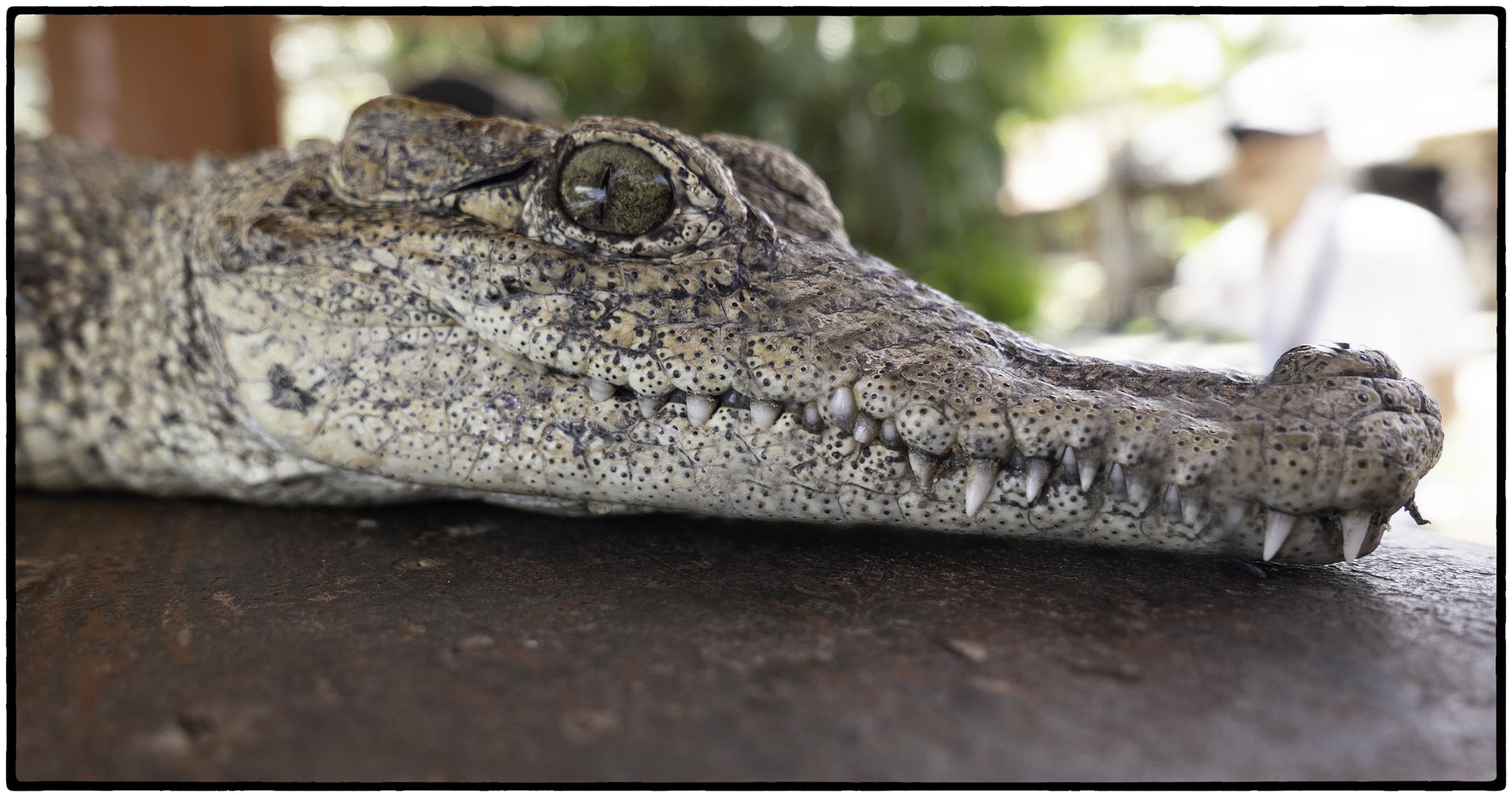 Juvenile crocodile, Matanzas, Cuba