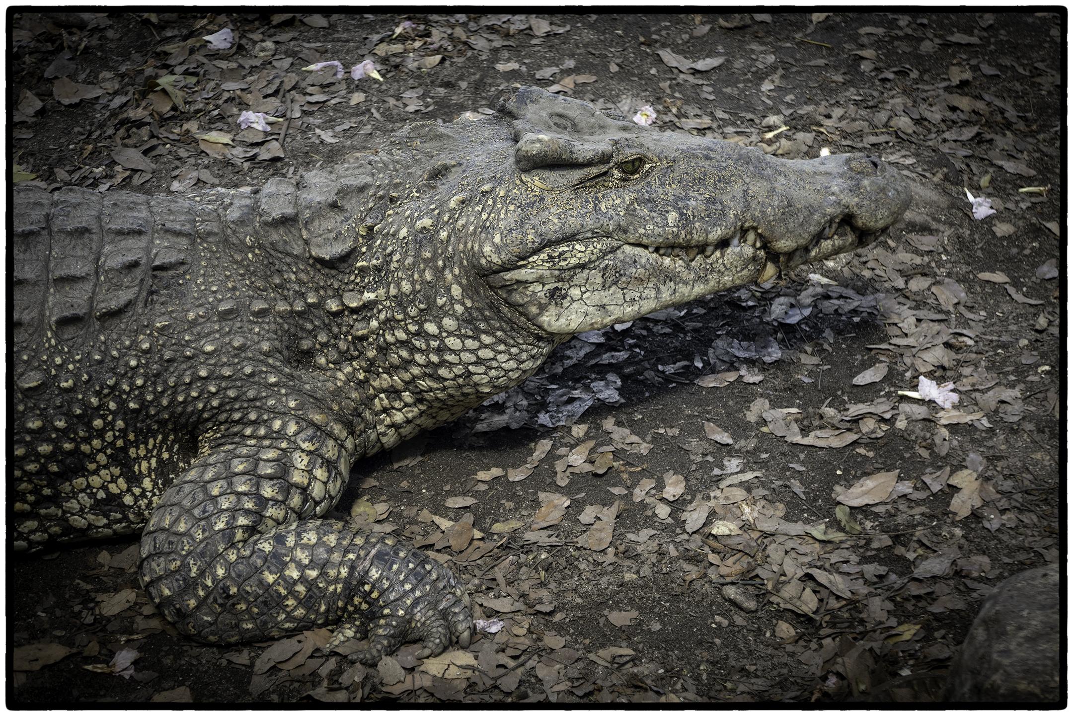 Adult crocodile, Matanzas, Cuba
