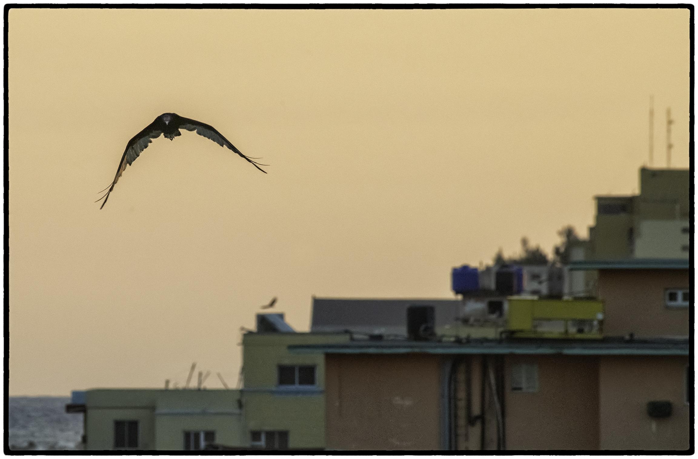 Turkey Vulture, Havana