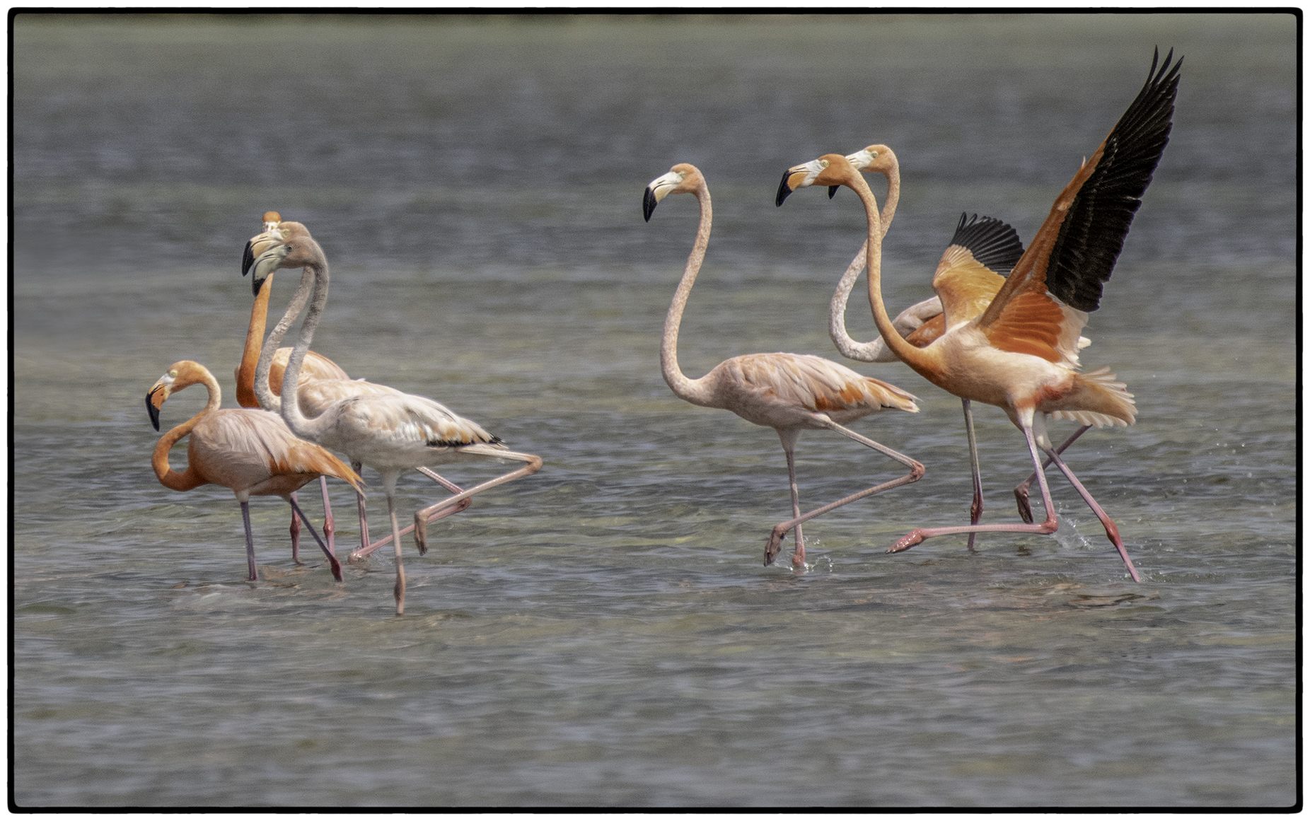 Adult Flamingoes
