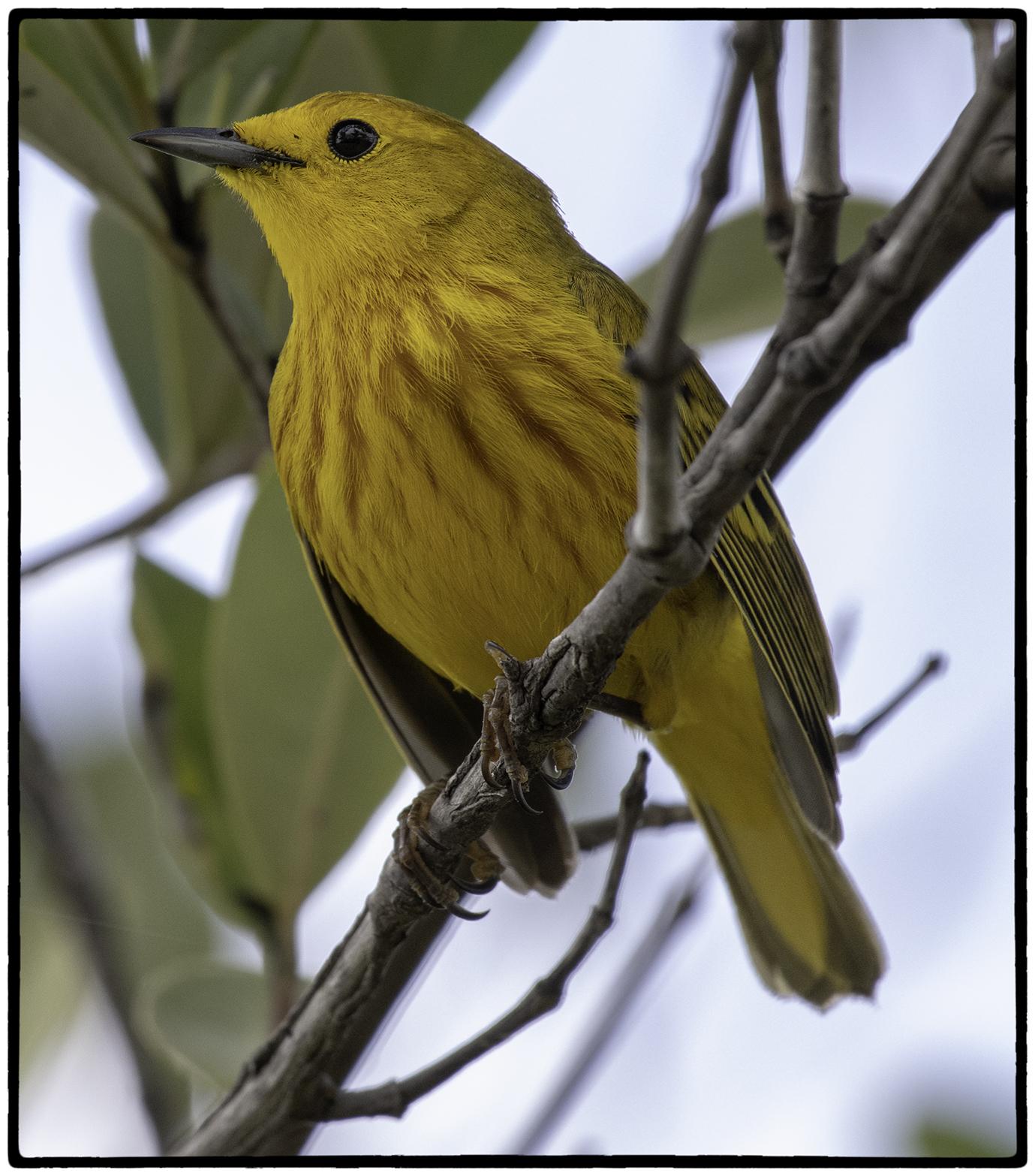 Yellow Warbler, Bay of Pigs
