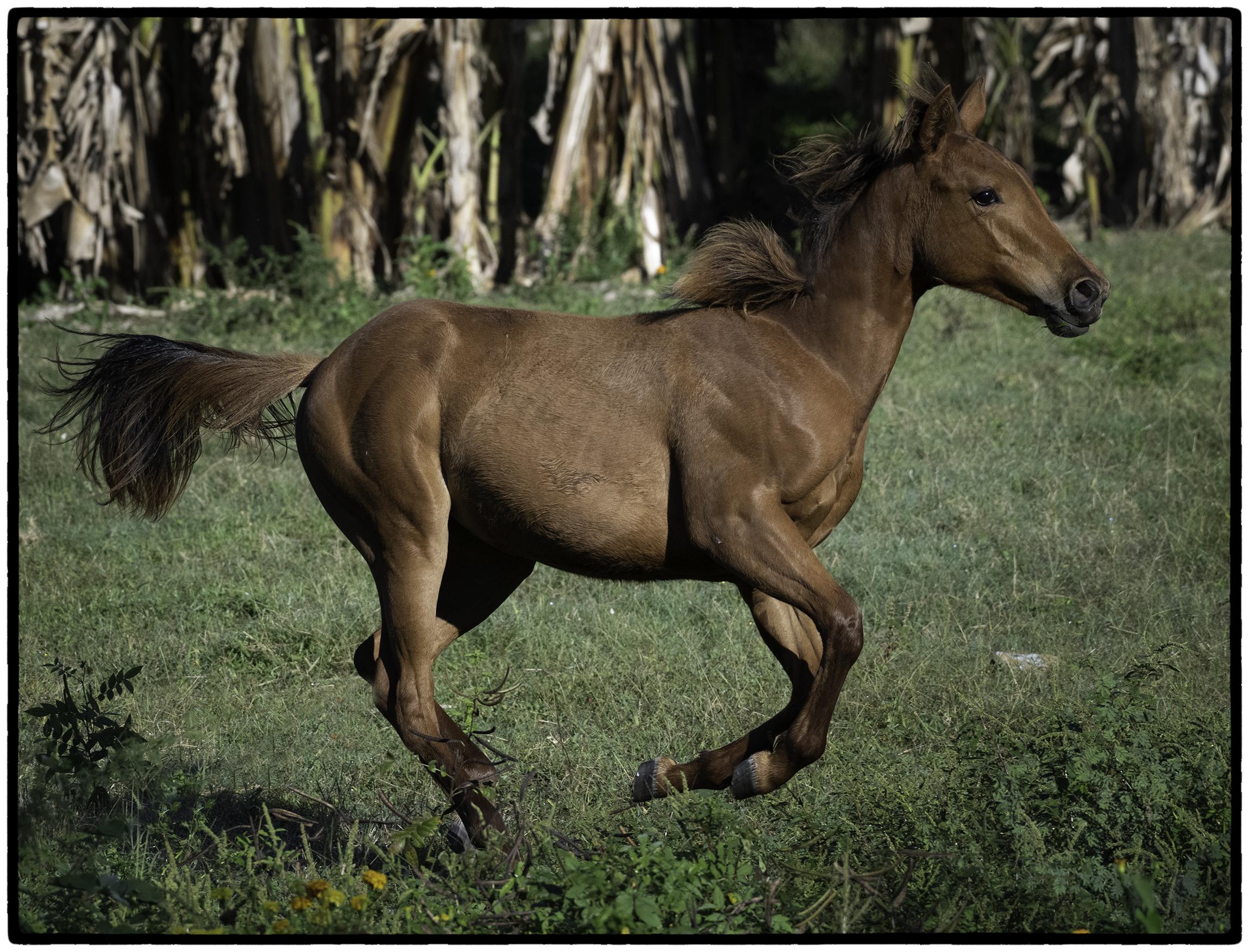 Running horse, Santa Clara, Cuba