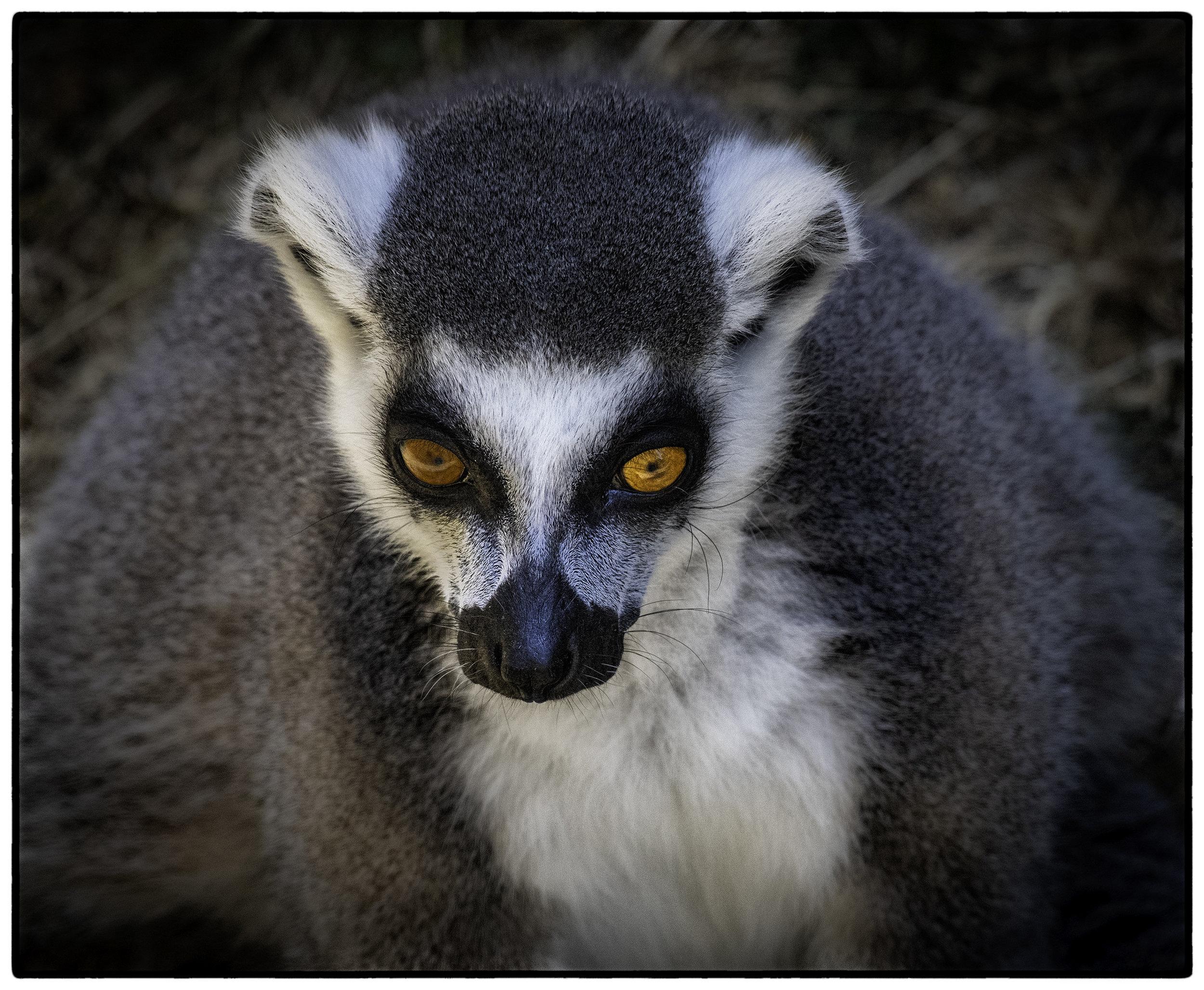 Lemur, Oakland