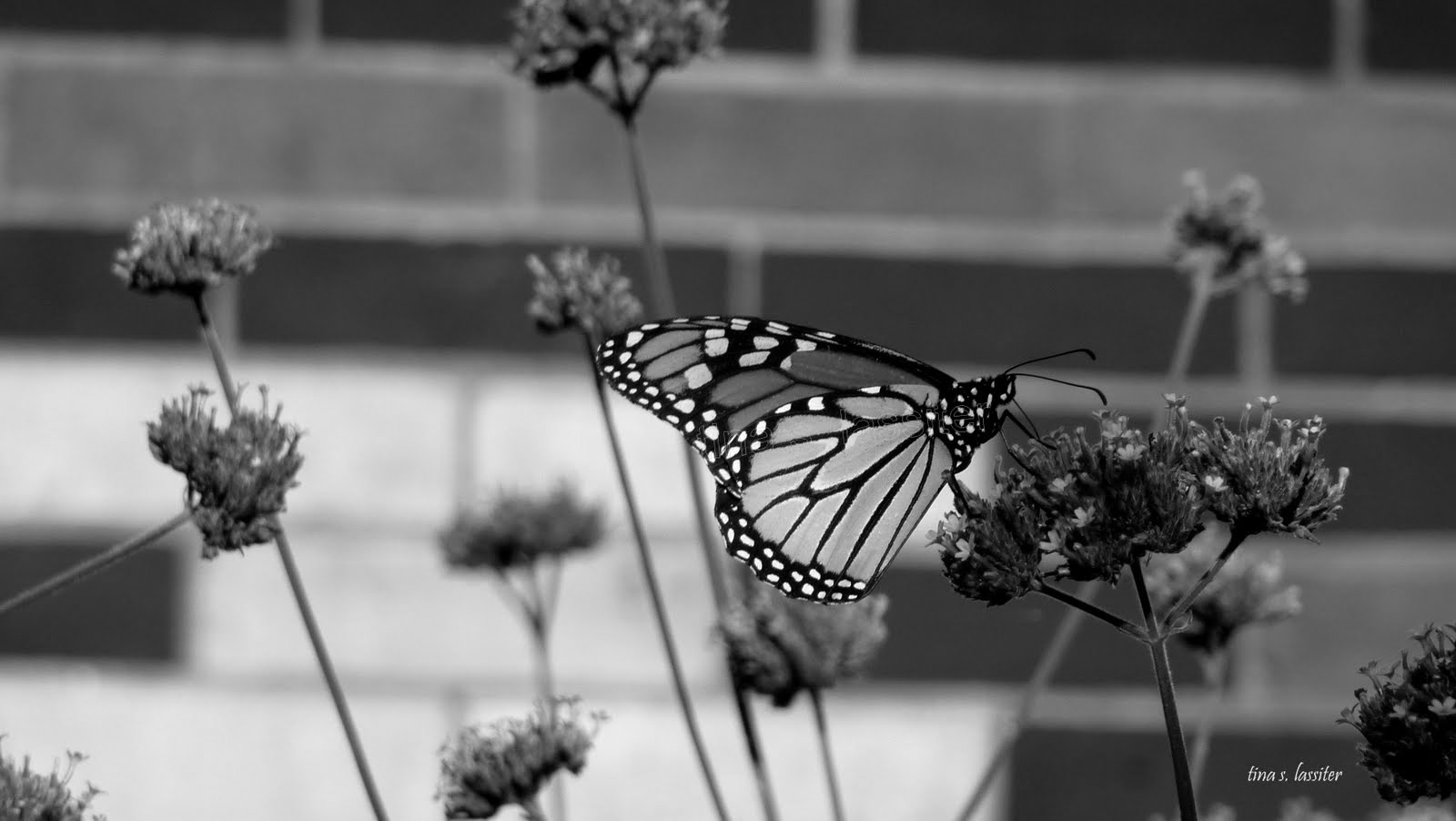 monarch b&w
