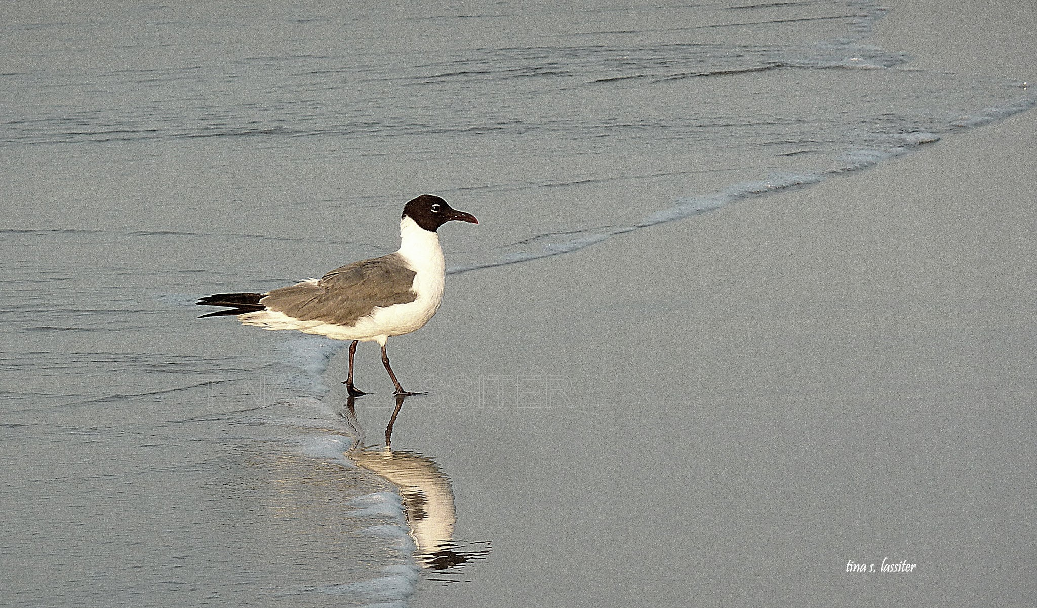 seagull in the surf