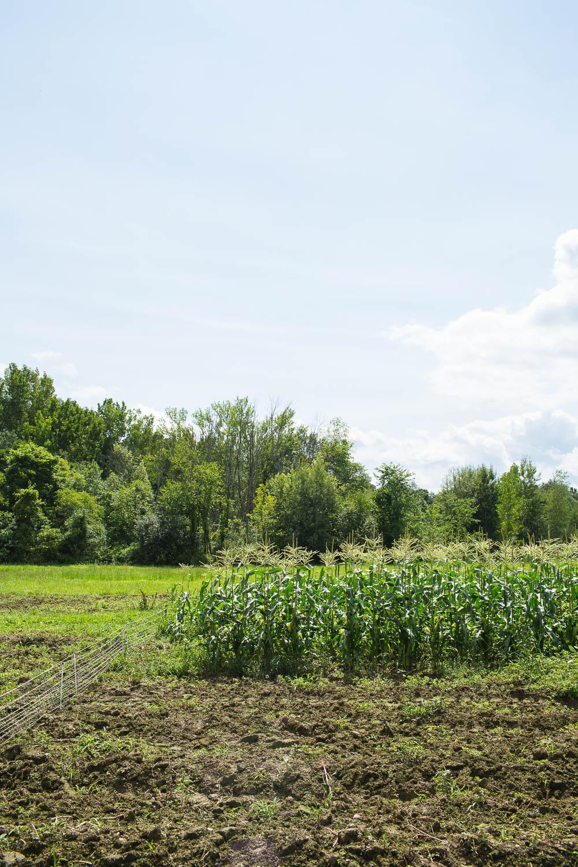cornfield in kinderhook, ny
