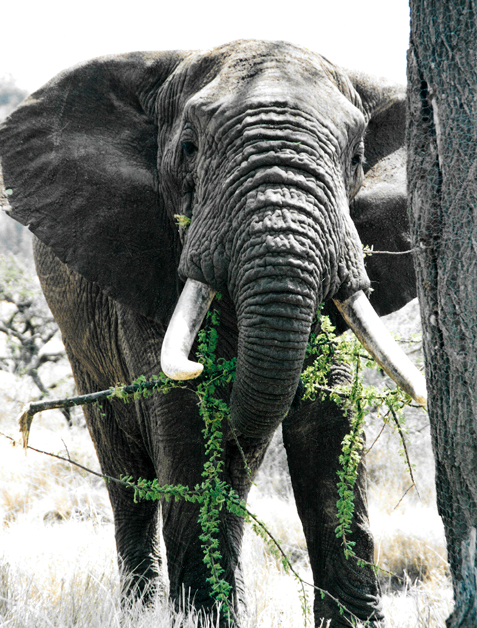 A very old elephant